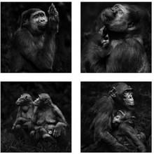 Álbum de Familia, la empática mirada de Isabel Muñoz sobre los grandes primates